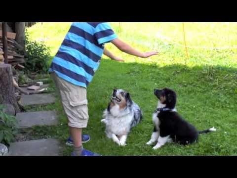 Australian Shepherd Welpe lernt mit 12 Wochen
