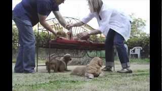 Pet Portrait Photography - Golden Retriever Puppies - Liz Young Photography