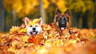 Смешные Собаки играют в листьях. Сборник [HD]