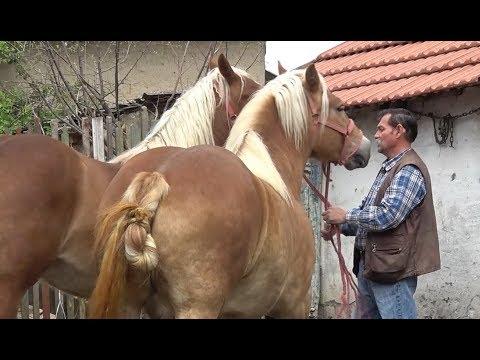 Caii lui Bello (Mosu) de la Tinca, Bihor - Prezentare cai - 2019 Nou !!!
