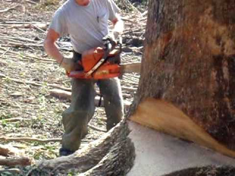 """Bore sawing a 52"""" diameter white oak in Mississippi with a Husky 394"""