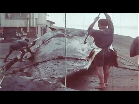 After the Whale | Film against commercial whaling (1950's Documentary)