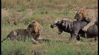 Lion Vs Hippo || Lion Vs Hippo Fight To Death || Lion Vs Hippo Real Fight Compilation