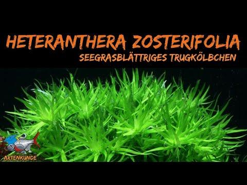 Seegrasblättriges Trugkölbchen, Heteranthera zosterifolia   ADVENTdicted! Adventskalender   Tür Nr.5