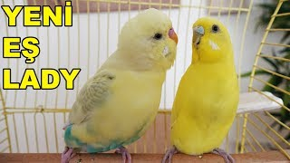 Muhabbet Kuşu Pastelin Yeni Eşi Lady
