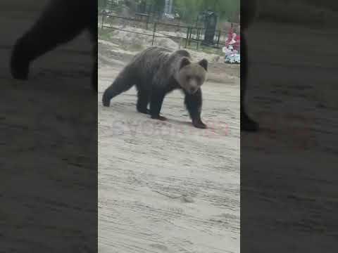 В ЯНАО на кладбище пришли медведи