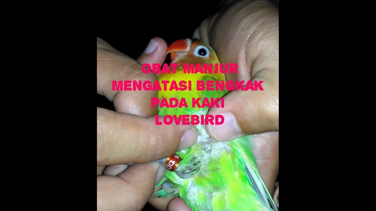 CARA AMPUH MENGOBATI BENGKAK PADA KAKI LOVEBIRD - YouTube