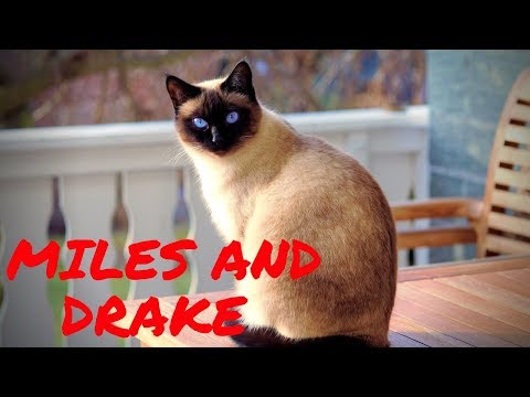 TALKING CATS : Siamese cats