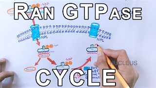 Mechanism of Nuclear Transport | RAN GTPase Cycle