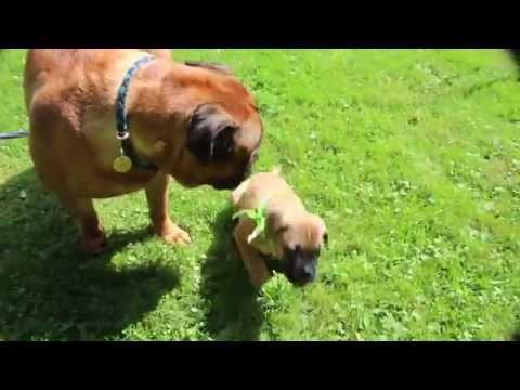Bullmastiff puppy Ava & Luca AKC Champion Bullmastiff stud dog