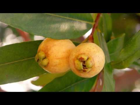 10 plants that will make you happy. Plant # 1 - Rose Apple.