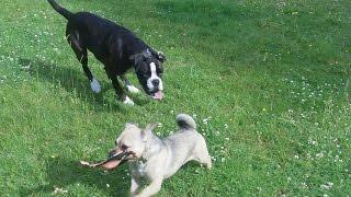 Boxer Bridie, Jug Dog Bridie, Paddy West Highland & Bichon Pepper  At A & B Dogs..