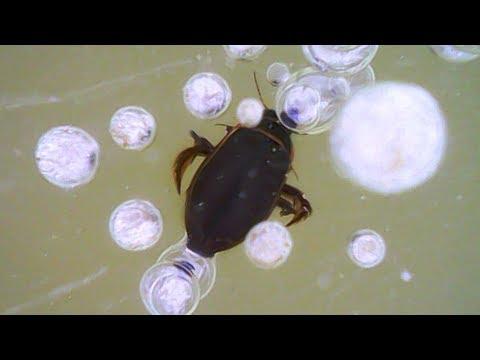 Не позавидуешь... 🧐 Как  дышит 🐿 жук-плавунец зимой подо льдом. Dytiscidae.