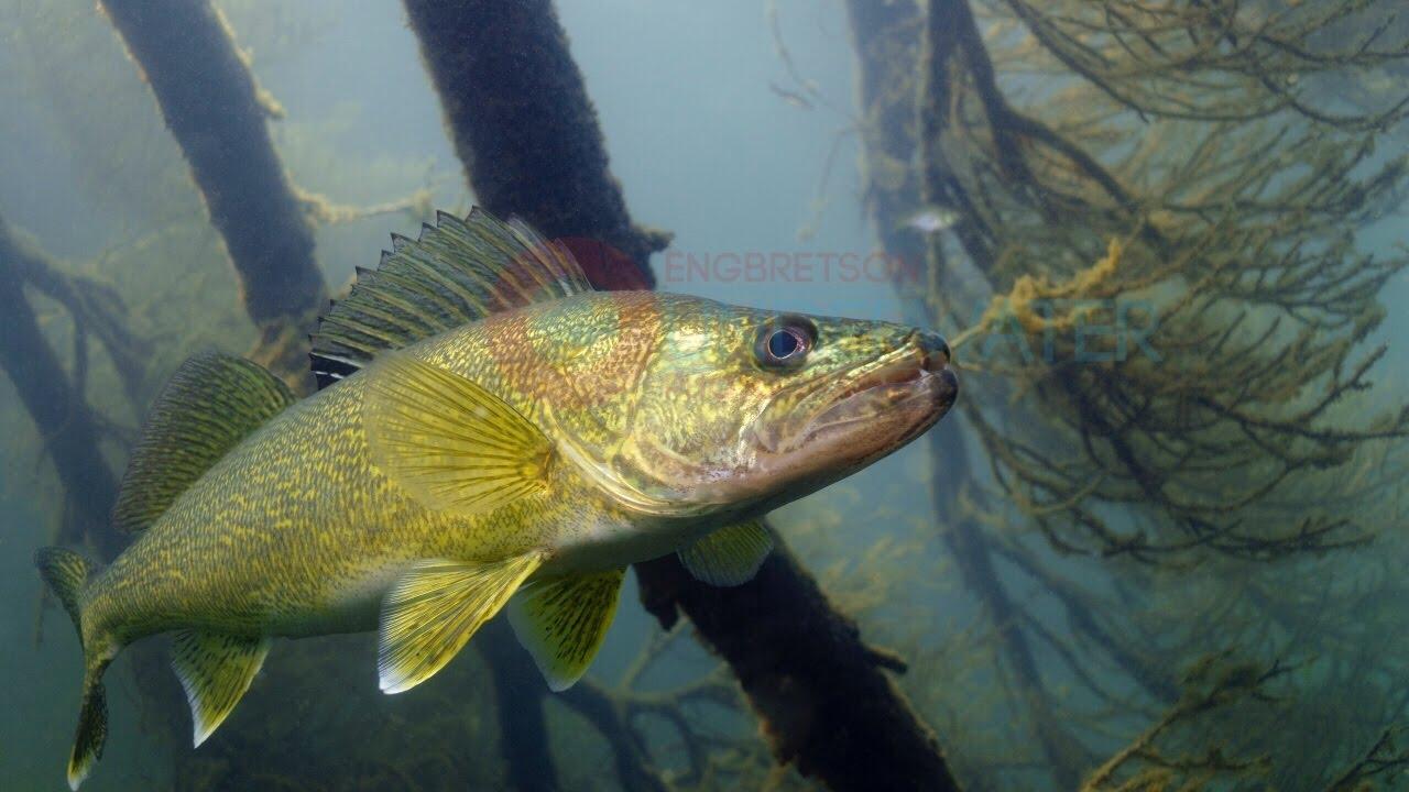 Walleye Underwater #3-Engbretson Underwater Photography ...  Walleye Underwa...