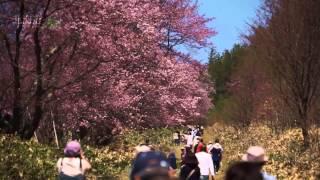 スロウな旅北海道~二見ヶ岡農場の桜並木~slow travel Hokkaido