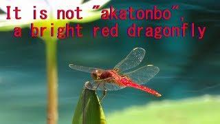 【知らなかった】赤とんぼ、ではない「赤いとんぼ」It is not  akatonbo  a bright red dragonfly