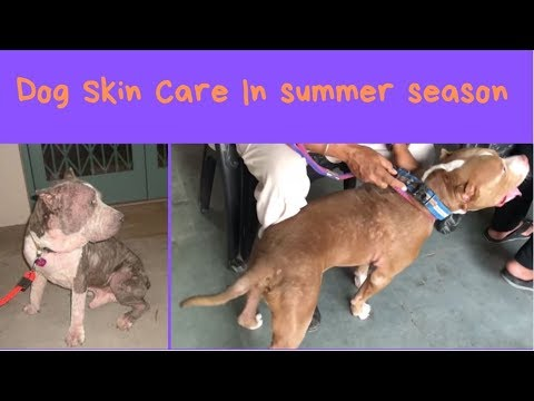 Pet Care - Dog Skin Care In summer season - Bhola Shola