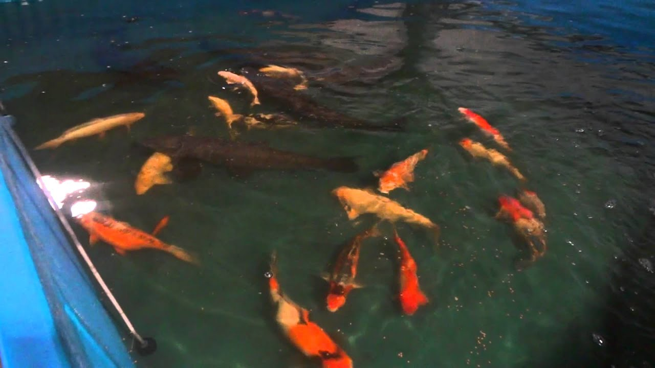 Doron 39 s koi koi carp black carp breeding in israel youtube for Keeping koi carp