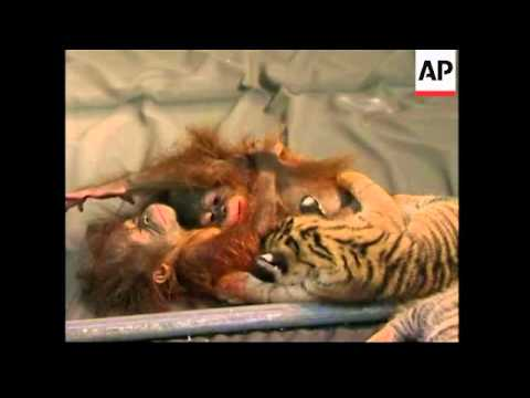 Two baby Sumatran tigers playing with two baby Orangutans