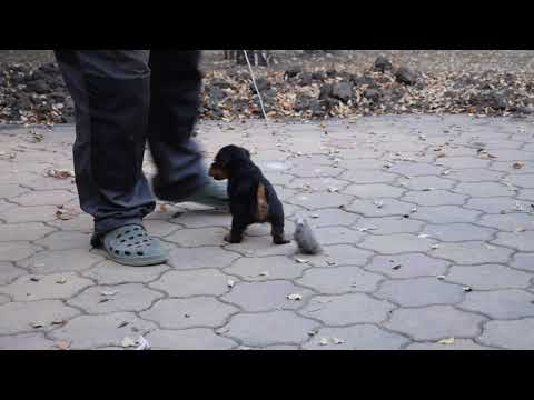Jenny - Welsh Terrier Puppy for sale