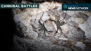 Video Cannibal battle: Whip scorpion turf wars can be deadly download MP3, MP4, WEBM, AVI, FLV Mei 2018