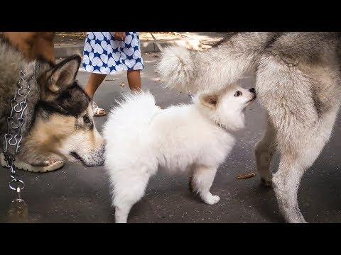 Белый померанский шпиц щенок на прогулке с хаски и маламутом