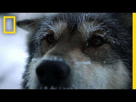 Sled Dogs | Life Below Zero