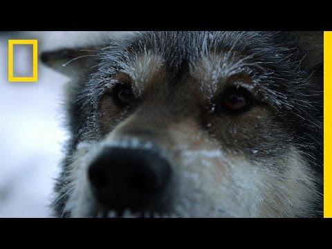 Sled Dogs | Life Below Zero