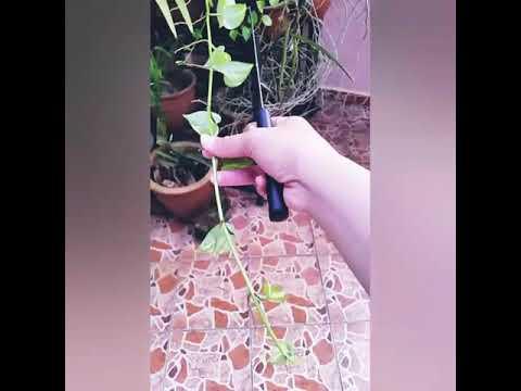 Keeping indoor money plant & spanish moss (timelapse)
