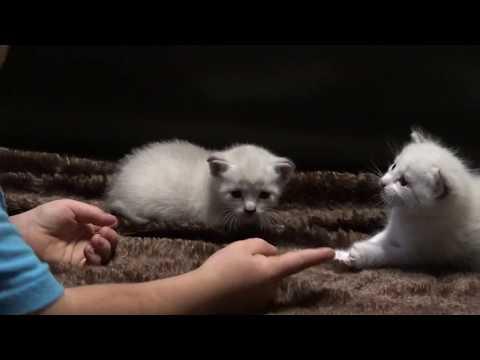 Siamese Manx Kittens August 2019.
