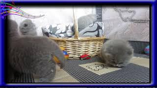 Месячные голубые британские котята.