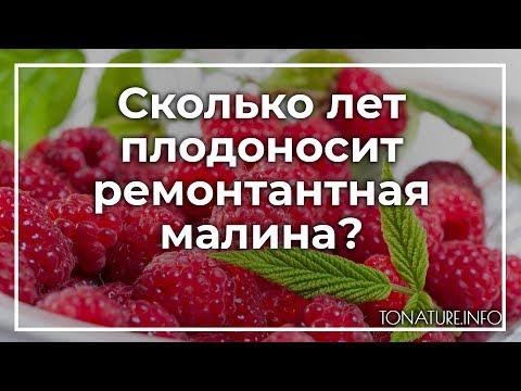 Сколько лет плодоносит ремонтантная малина? | toNature.Info