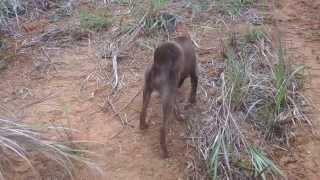 琉球犬RIN(凛)君の朝散歩でリュウキュウヤマガメと遭遇。 お互いに初...