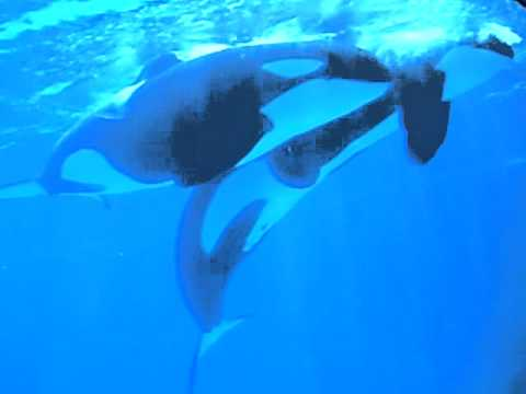 Orcas Mating:)