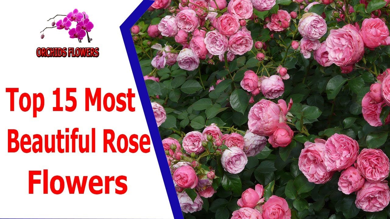 Top 15 most beautiful rose flowers orchids flowers hoa lan top 15 most beautiful rose flowers orchids flowers hoa lan dhlflorist Choice Image