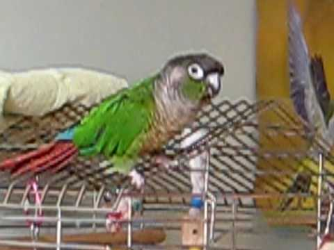 GREEN CHEEK CONURE! Dancing and singing