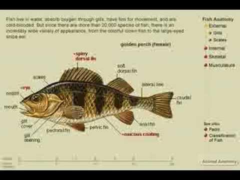 Anatomy of Fish - YouTube