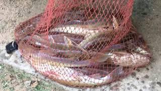 ការស្ទូចត្រីដ៏ងាយៗ Cambodia Amazing Net fishing very Easy live in kondal province.