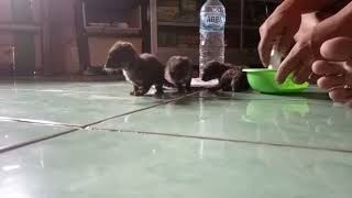 Beri susu musang rase umur 3 Minggu Jecky,Chiko & Preti