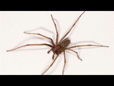 Barn Funnel Weaver, Tegenaria domestica - YouTube