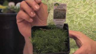 Flower Gardening Tips : How to Grow Irish or Scotch Moss (Sagina Subulata)