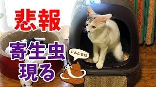 【悲報】子猫のお腹から寄生虫が出てきた…【猫の寄生虫駆除】