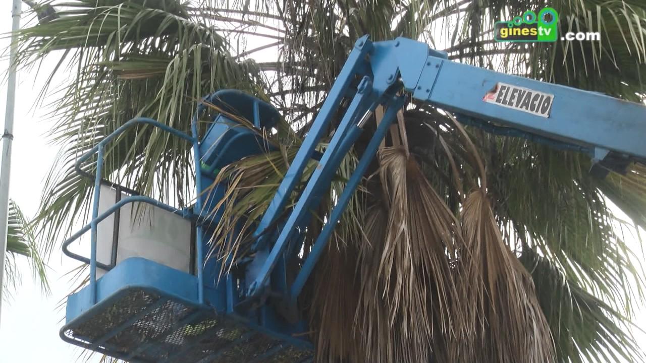 Comienzan las labores de poda de las palmeras de la calle Colón