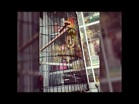 GILA...!! LOVEBIRD - BANYU BENING DURASI BELUM SEPENUHNYA KEMBALI..