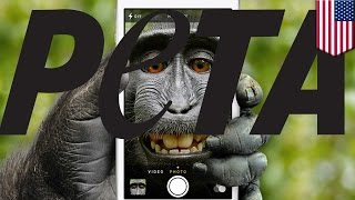 Monkey Selfie PETA lawsuit claims monkey owns copyright on the photo, not photographer - TomoNews