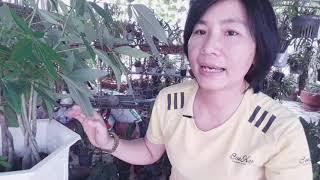 Ý nghĩa và cách trồng cây Kim Ngân