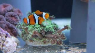 �������� ���� Clown Fish Dancing ������
