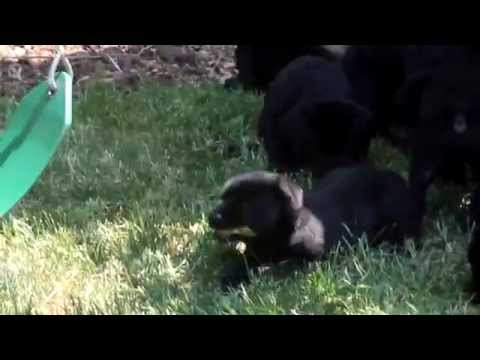 Lab Rottie Mix Puppies For Sale