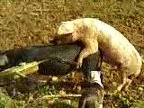 Cerdo Follando Cerda