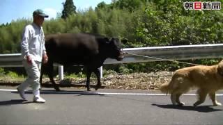 朝日新聞デジタル動画 http://www.asahi.com/video/ 牛を散歩させる犬。...